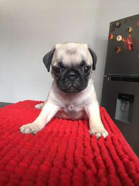 Perro raza pug