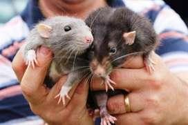 Vendo ratas