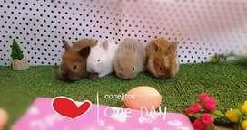 Conejitos de mascota enanitos raza mini toy
