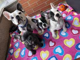 Tres hermosos bulldog frances