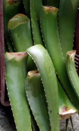 sabila aloe vera plantulas y producto