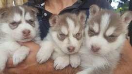 Cachorros husky siberiano manto rojo y negro de 50 días de nacido