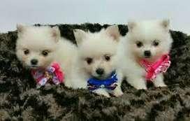 tiernos cachorros pomerania lulu