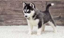 Cachorros muy divertidos y juguetones Husky
