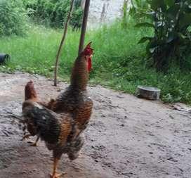 Vendo gallo batara grande