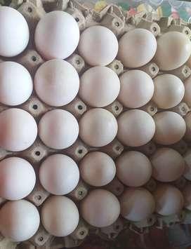Venta huevo de pata