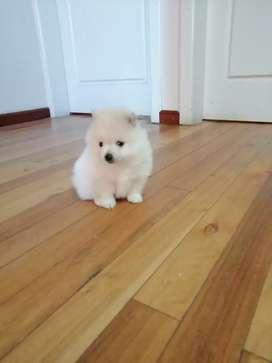 Hermoso cachorro pomeranian lulu