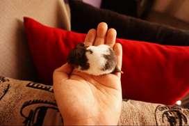 Hamsters Americanos (6 Soles La Unidad) (10 Soles La Pareja)