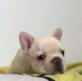 Macho bulldog frances, 45 dias de edad.