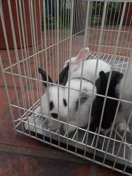 Conejos criollos bebe 30 días. Incluye 2kg de alimento balanceado y jaula 63x30x30 nueva.
