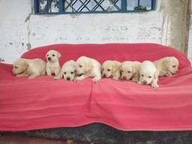 Labradores Dorados de Dos Meses