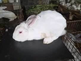 Coneja blanca