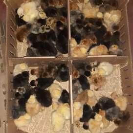 Pollos criollos bb y recriados