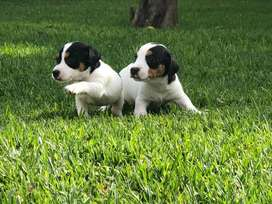 Chachorros jack russell
