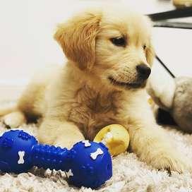 peludos cachorros golden de 58 dias