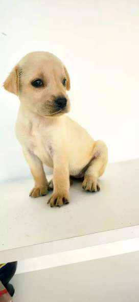 Labradores hembra