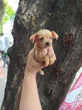Dog Pincher miniaturitas