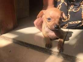 Cachorros Chihuahua de dos meses de edad machos
