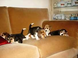 Perritos Beagles disponibles ambos sexos puros