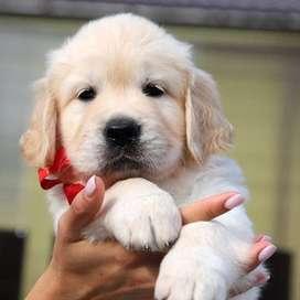 especiales cachorros golden de 48 dias de vida