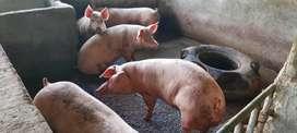 Venta de cerdos doble jamón