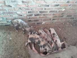 Se vende cerdo en canal o en pie