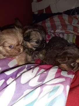 Últimos cachorritos pekinés