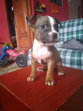 Se vende lindas cachorritas pitbull
