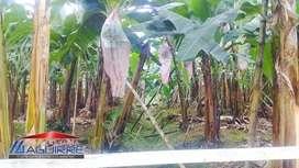 Vendo Finca Bananera y Cacaotera - 48has - Pagua
