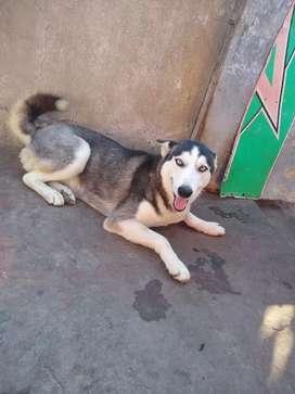 Cachorra hembra Husky siberiano 8 meses