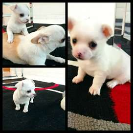 Lindos cachorritos chihuahua blancos minitoy