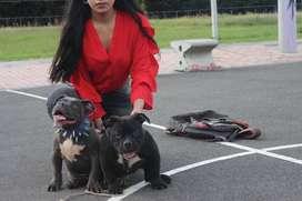 cachorros real american bully