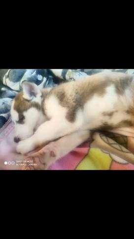 Husky siberianos de alta genetica