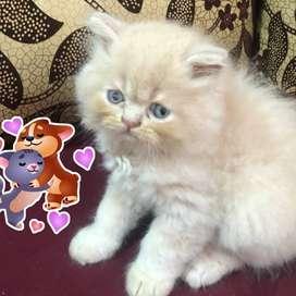 vendo gatos persa clásico