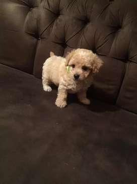 French Poodle (miniatura)