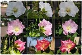 Hibiscus Mutabilis 1 Bio Planta