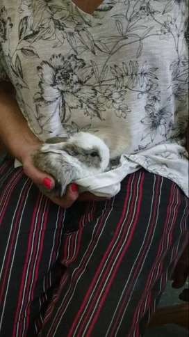 Conejitos cruza Holland Lop/Californiano