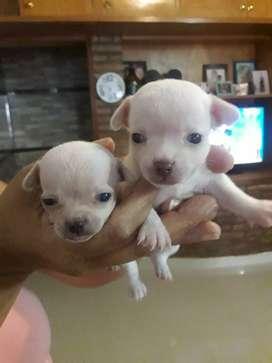 Hembras y macho cachorritos