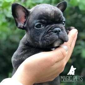chicos bulldog frances de 46 dias de nacido