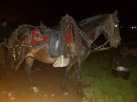 Se vende caballo de 6 años