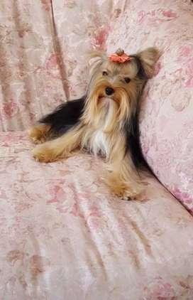 En venta Yorshire Terrier