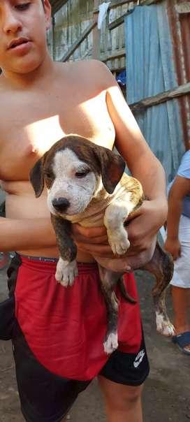 Perros boxer cruza con pitbull