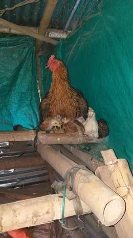 Gallos y gallinas de campo. Huevos fértiles