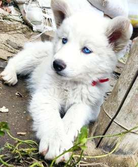 Cachorro lobo siberiano blanco
