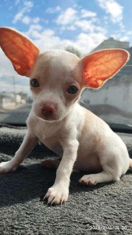 Vendo hermoso Chihuahua