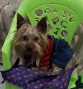 VENDO HERMOSO YORKIE MINI TOY