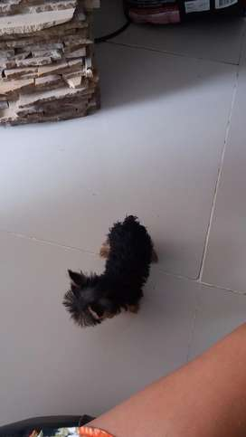 Hermoso cachorro yorki mini raza pura