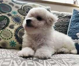 perritos con garantias estupendas para esta bella raza french poodle mini toy