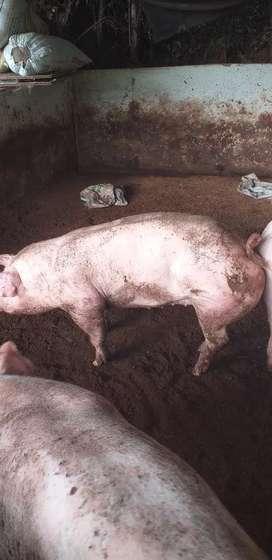 Vendo cerdos en pie o canal