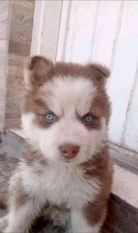 Animados Husky siberiano de 48 dia